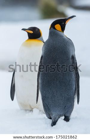 King Penguin Couple in love, South Georgia, Antarctica - stock photo
