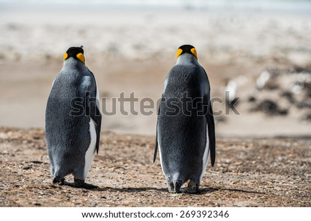 King penguin from behind, Antarctica - stock photo