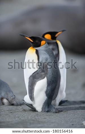 King penguin in South Georgia, Antarctica. - stock photo