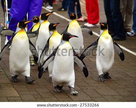 king penguin in zoo - stock photo