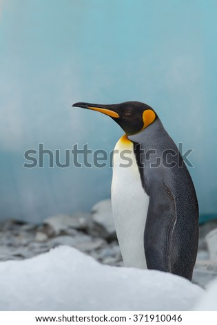 King penguin standing, with clean blue background, South Georgia Island, Antarctica