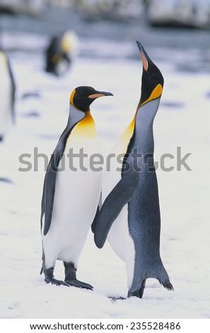 King Penguins - stock photo