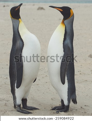 King Penguins (Aptenodytes patagonicus) greet each other with a ritualised display on the beach of Sandy Bay on Bleaker Island in the Falkland Islands. - stock photo