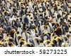 King Penguins, Aptenodytes patagonicus on Macquarie Island, Sub-antarctic Islands, Australia - stock photo