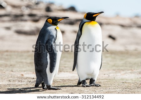 King penguins, Falkland Islands, Antarctica - stock photo