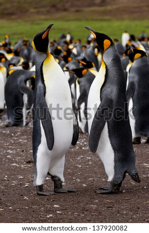 King penguins in a colony, Falkland Islands - stock photo