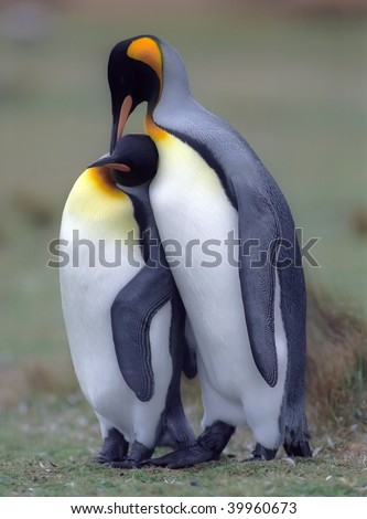 King penguins in love Falkland islands - stock photo