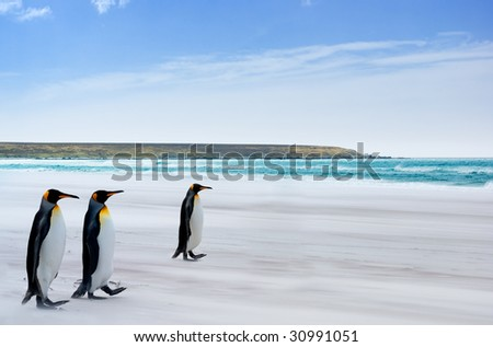 King Penguins on the Falkland Islands - stock photo