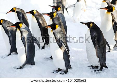 King penguins walking on the snow - stock photo