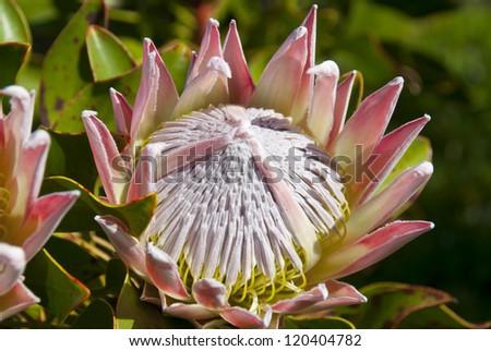 King Protea - stock photo