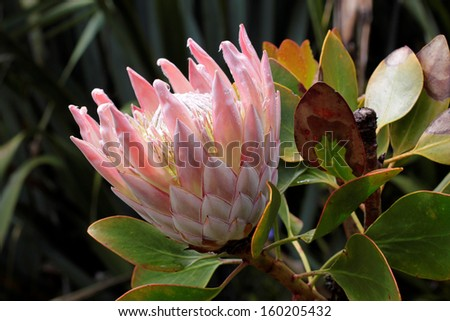 King Protea (Protea cynaroides) - stock photo