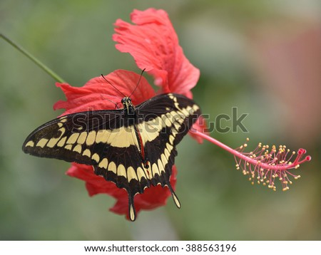 King Swallowtail butterfly (Papilio thoas) on red hibiscus flower - stock photo