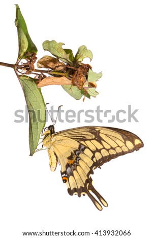 King Swallowtail (Heraclides thoas) butterfly. Isolated on a white background. Patagonia, Argentina, South America. - stock photo