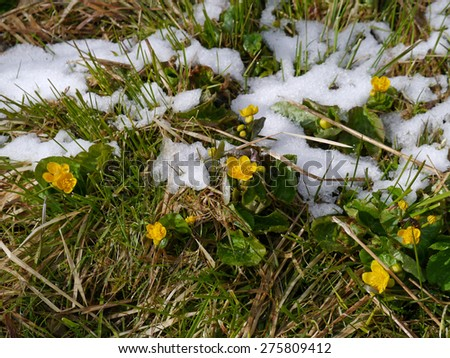 kingcup flowers with snow in spring - stock photo