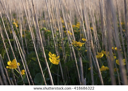 Kingcup plants flowering at spring between old dried reed stems  - stock photo