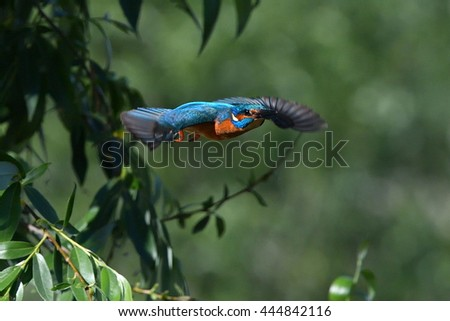 kingfisher (alcedo atthis) flying outdoor