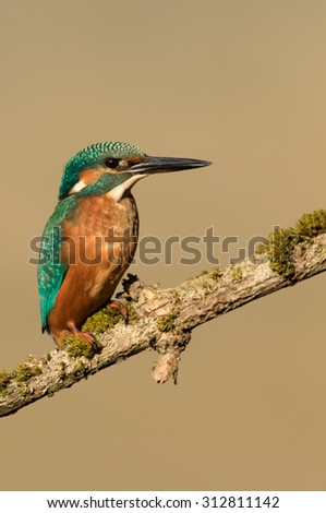 Kingfisher (Alcedo atthis) perched on mossy branch. - stock photo