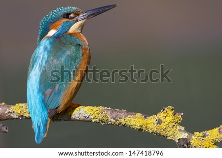 Kingfisher Bird - stock photo