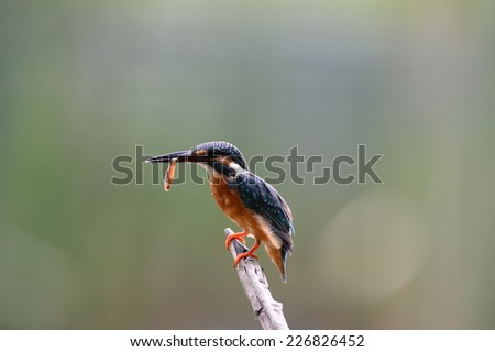 Kingfisher catch a fish. - stock photo