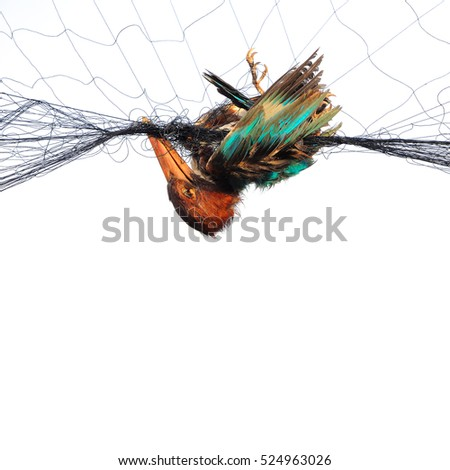 Kingfisher died on the net