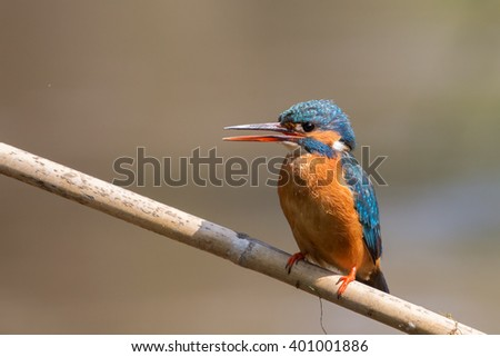 Kingfisher female (Alcedo atthis), Italy