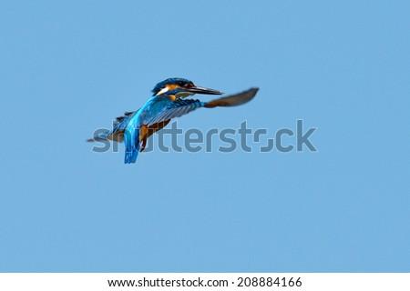 kingfisher in flight (alcedo atthis) outdoor - stock photo