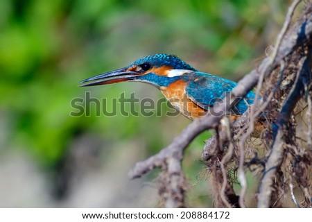 kingfisher in natural habitat (alcedo atthis) - stock photo