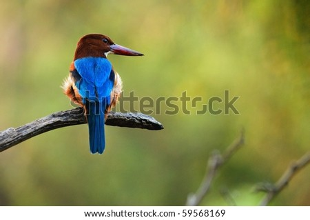 Kingfisher. / On a green background the halcyon sits on a branch. - stock photo