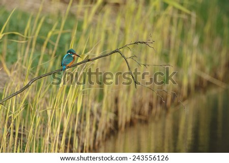 Kingfisher perched on a twig waiting to catch a fsh - stock photo
