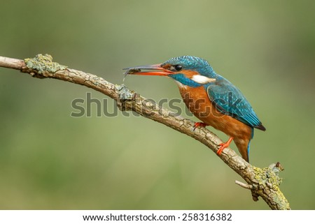 Kingfisher perched on a twig with a green background - stock photo