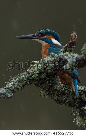 Kingfisher perched on moss covered branch in heavy rain/Kingfisher/Kingfisher (Alcedo Atthis)