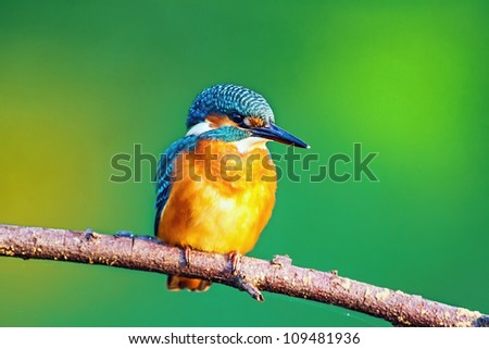 Kingfisher watching for prey, sitting on a branch - stock photo
