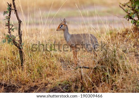 Kirk Dik-dik (Madoqua kirkii) in the high grass of Ngorongoro Conservation Area, Tanzania - stock photo