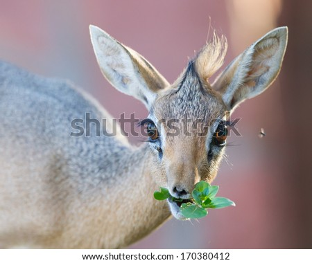 Kirk Dik-dik (Madoqua kirkii), selective focus on the eyes - stock photo