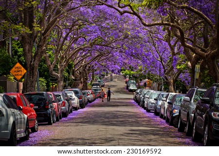 KIRRIBILLI,AUSTRALIA - NOVEMBER 13, 2014: A suburban street is transformed by Jacaranda trees in full bloom. - stock photo