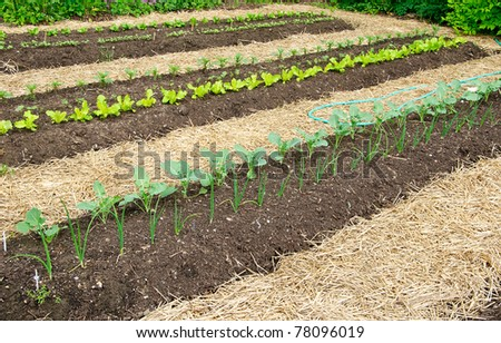 Kitchen Garden with seedlings and young greens - stock photo