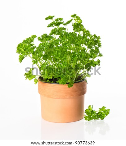 kitchen herb parsley in pot on white background - stock photo