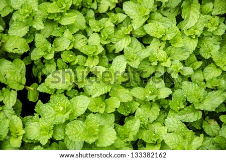 Kitchen Mint, Marsh Mint (Metha cordifolia Opiz.). - stock photo
