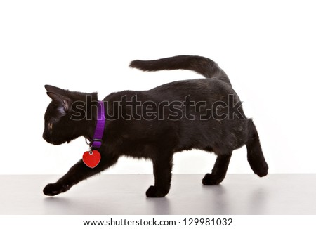 Kitten against white background with collar and tags