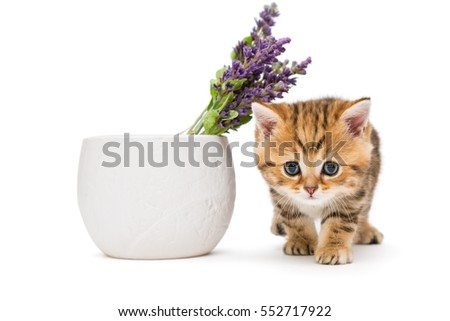Kitten and a vase with lavender flower, isolated on white