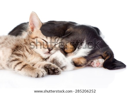 Kitten and basset hound puppy sleeping together. isolated on white background - stock photo