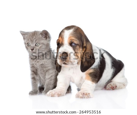Kitten and basset hound puppy standing together. isolated on white background