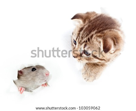 kitten and domestic rat looking out hole in  torn paper - stock photo