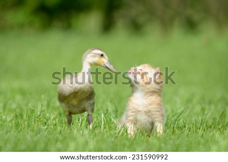 Kitten and duck - stock photo