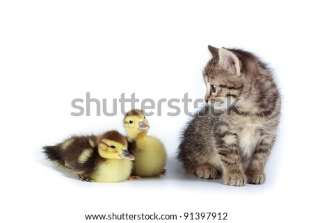 Kitten and ducklings in studio against a white background. - stock photo