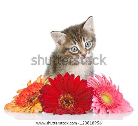 kitten and flower looking at camera. isolated on white background - stock photo