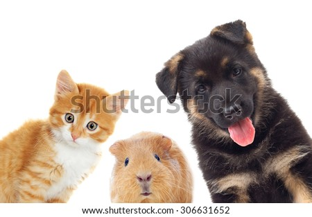 kitten and puppy and guinea pig looking, on a white background