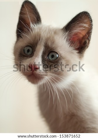 kitten breed snowshoe, two month - stock photo