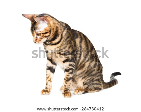 Kitten breed toyger isolated on white background.