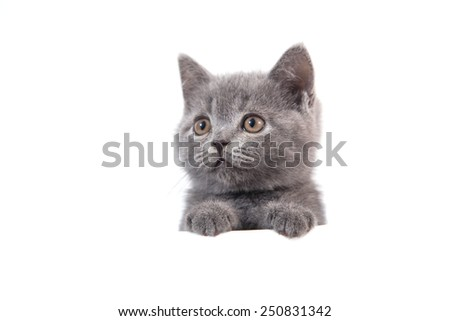 Kitten British blue gray on white background. Cat peeking from behind. Two months. - stock photo